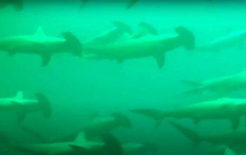 Nurkowanie w towarzystwie rekinów młotów