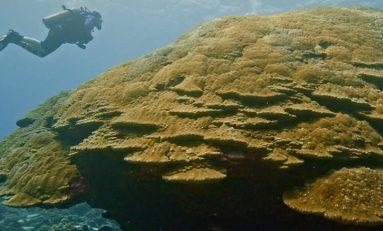 Kolonia koralowców na Samoa jedną z największych na świecie