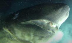 Zaskakujące spotkanie z ogromnym rekinem