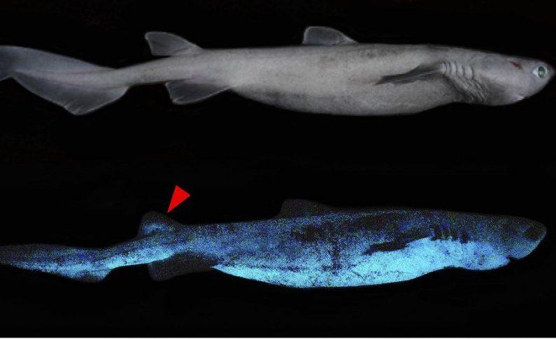 Rekiny świecące w szarej strefie