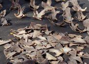 Wielka Brytania wprowadza zakaz handlu produktami z płetw rekinów