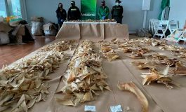 3493 płetwy rekinów i 117 kilogramów rybich pęcherzy pławnych przechwycono na lotnisku w Bogocie